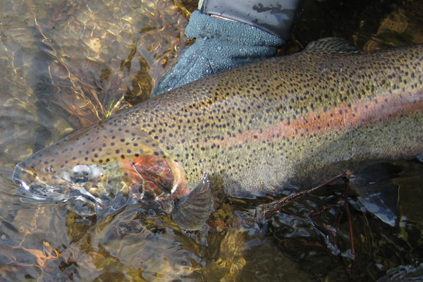 salmon river steelhead spey fishing
